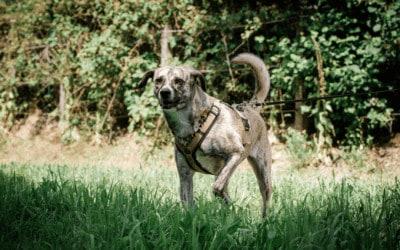 Aggressiver Hund an der Leine – So startest du dein Training!