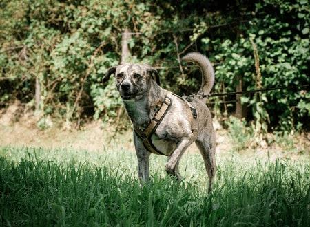Aggressiver Hund an der Leine
