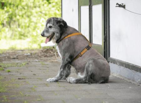 Sitzen mit abgeknickter Hüfte, ein Indiz für Schmerzen beim Hund