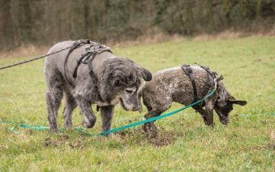 Vier Ursachen, warum dein Hund aggressiv an der Leine reagiert