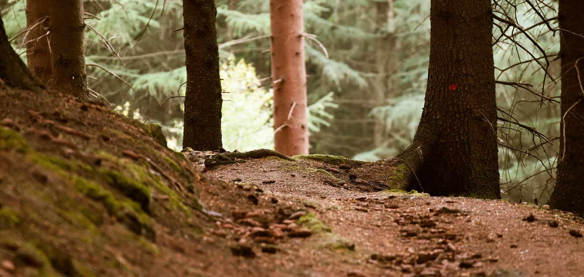 Einsamer Weg im Nadelwald
